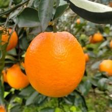 奉节脐橙-生鲜水果-辰颐物语