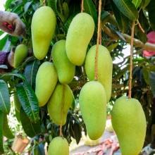 海南金煌芒5斤-生鲜水果-辰颐物语