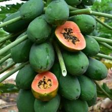 雷州木瓜8斤-生鲜水果-辰颐物语